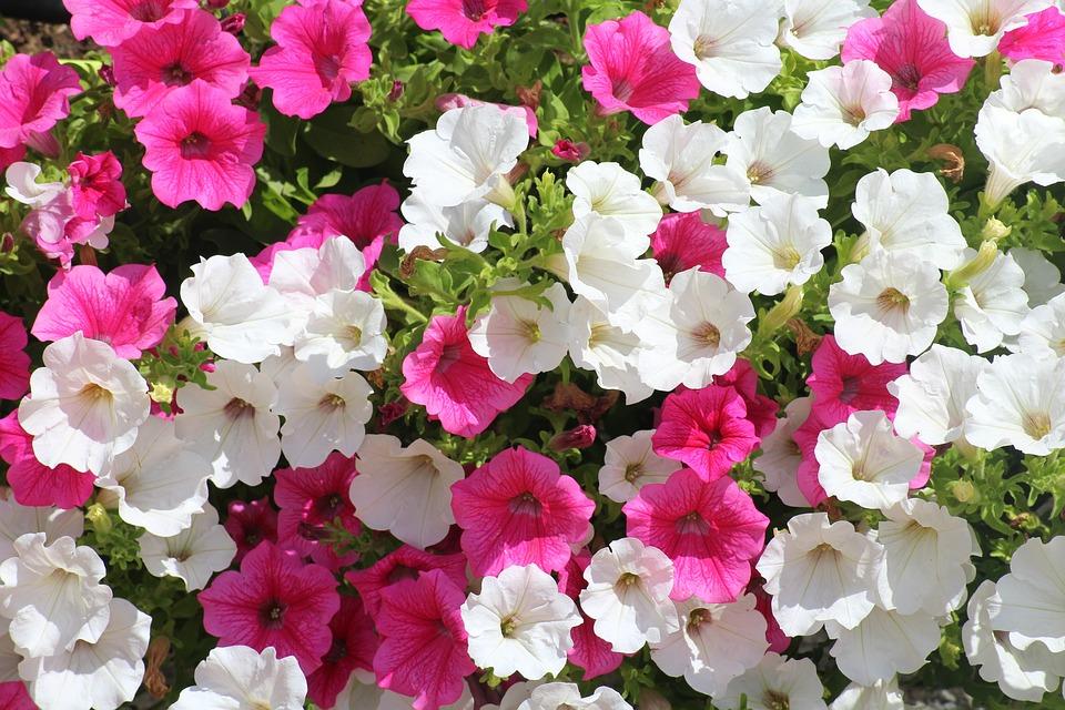 ピンクと白の可愛いカリブラコア