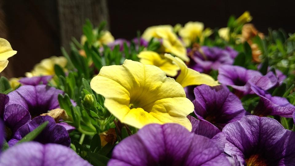 黄色いペチュニアと紫のペチュニア