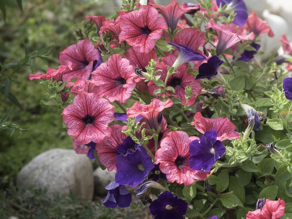 ピンクと紫のペチュニア