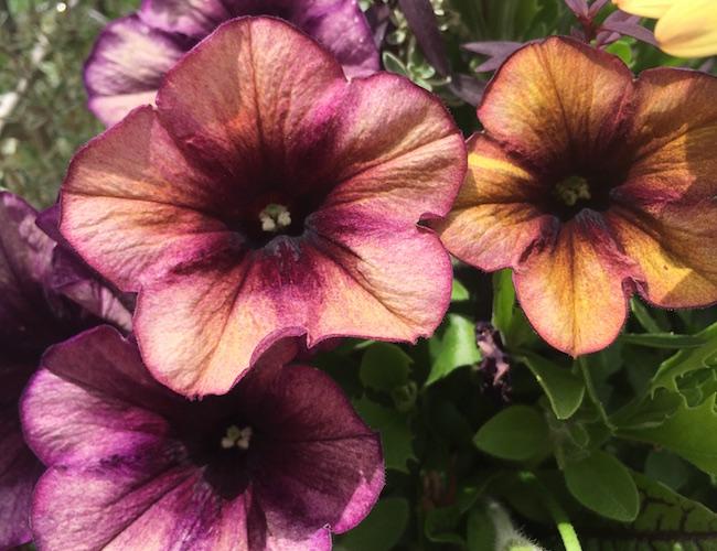 アンティークな花色のペチュニア