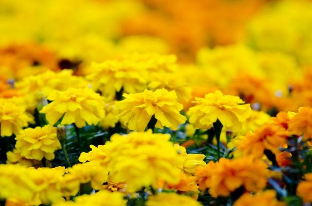 満開を迎えたマリーゴルドの花