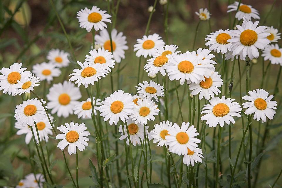 白い花のマーガレット