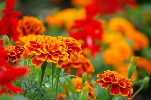 オレンジ色の美しいマリーゴールド