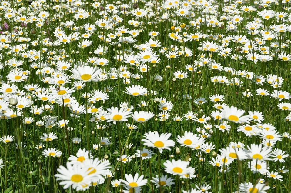 庭いっぱいに咲くマーガレット