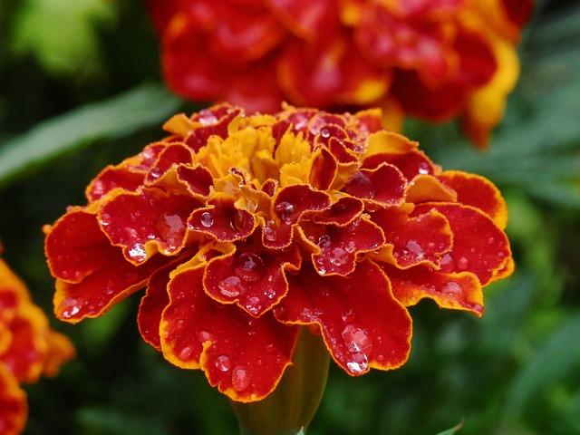 雨に濡れたマリーゴルドの花