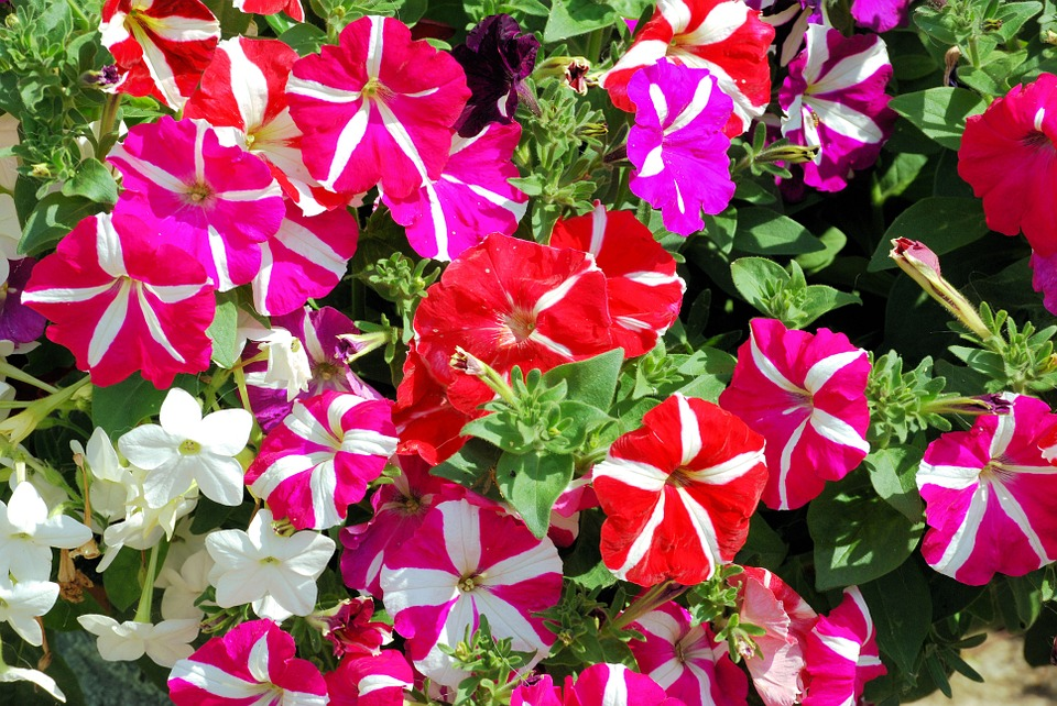 赤とピンクの鮮やかな花を持つペチュニア