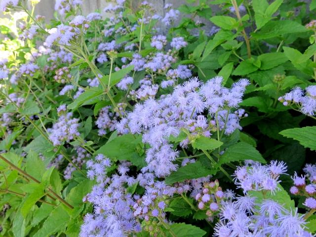 ユーパトリウムの紫の花