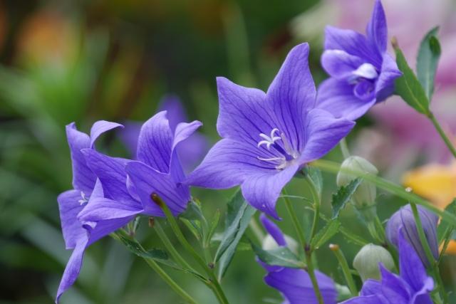 艶やかに咲く紫色のキキョウ