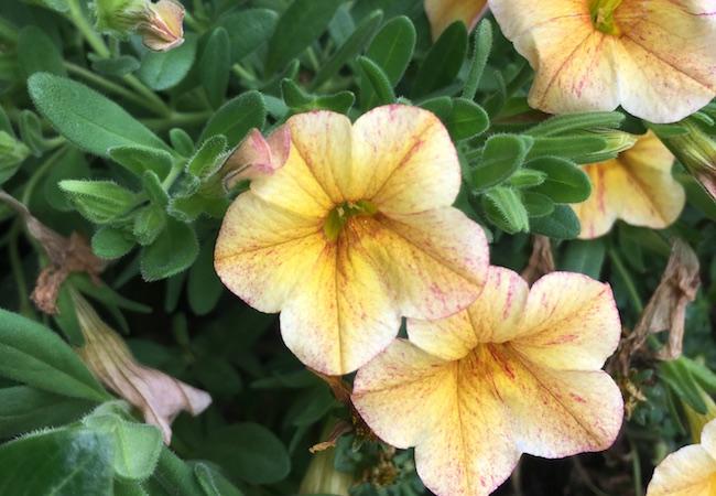 ミリオンベル・レモンマーブルの花