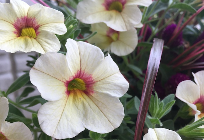 可愛い花のミリオンベル・ピーチマーブル