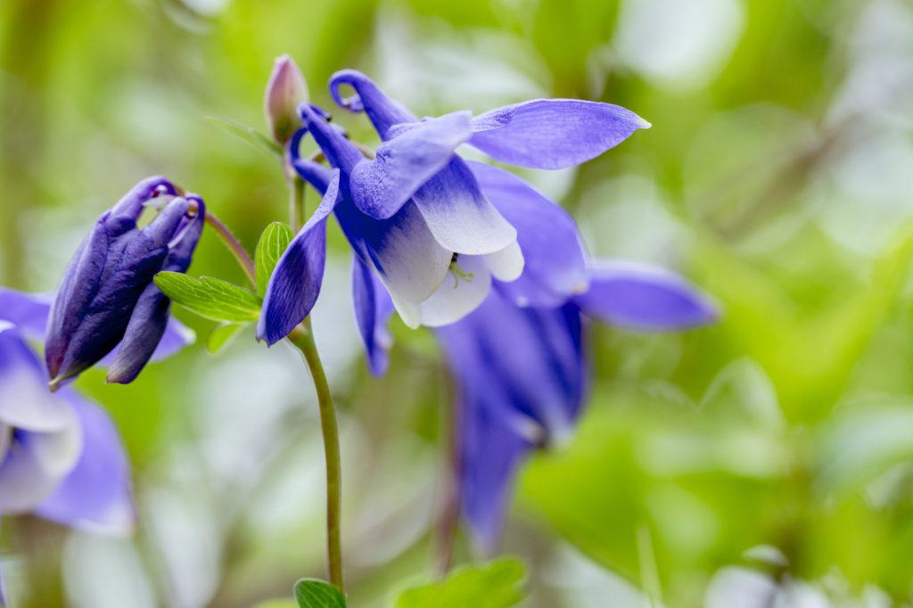 うつむくように咲く姿が愛らしいオダマキの花