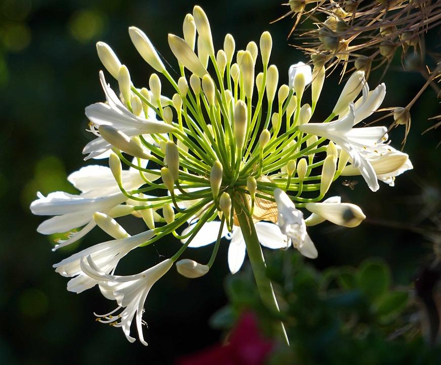蕾が開いてきた最中の白いアガパンサス