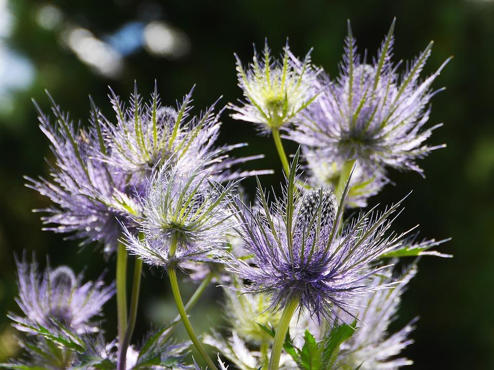 エリンジウムの花の形はとてもユニーク