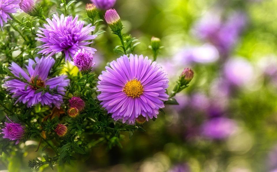 宿根アスターの花と蕾
