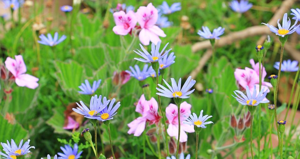 青い花が咲くブルーデージー