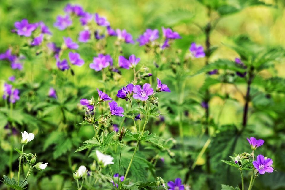 紫と白のフウロソウ