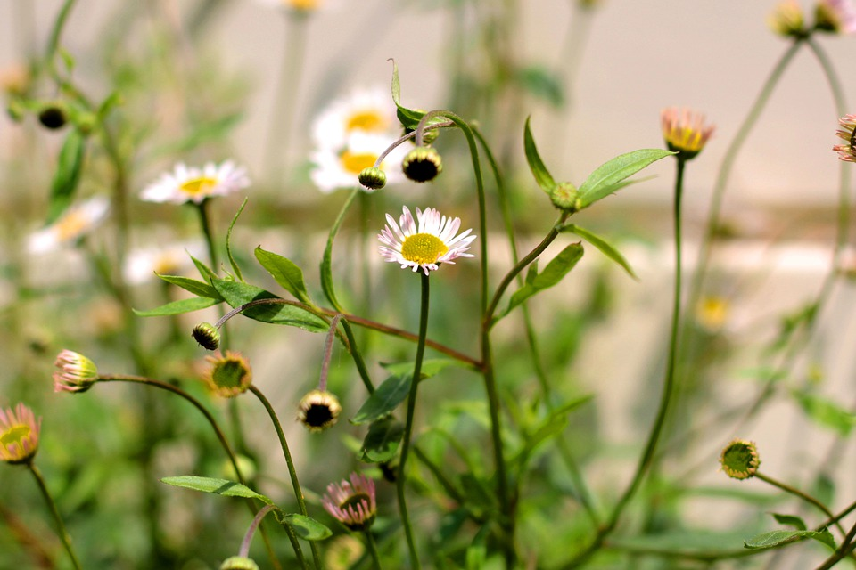 野に咲く花のようなエリゲロン
