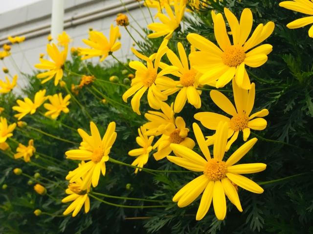 花茎が長いユリオプスデージー