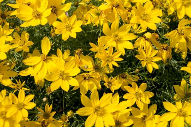 黄色い花が咲き乱れるコレオプシス