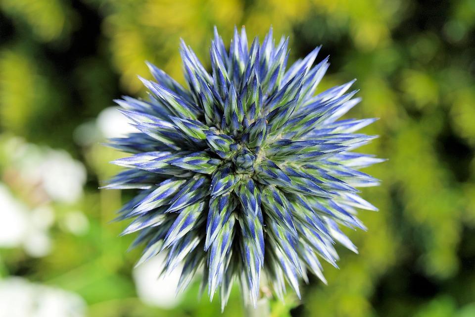 青とシルバーに輝くエキノプスの花