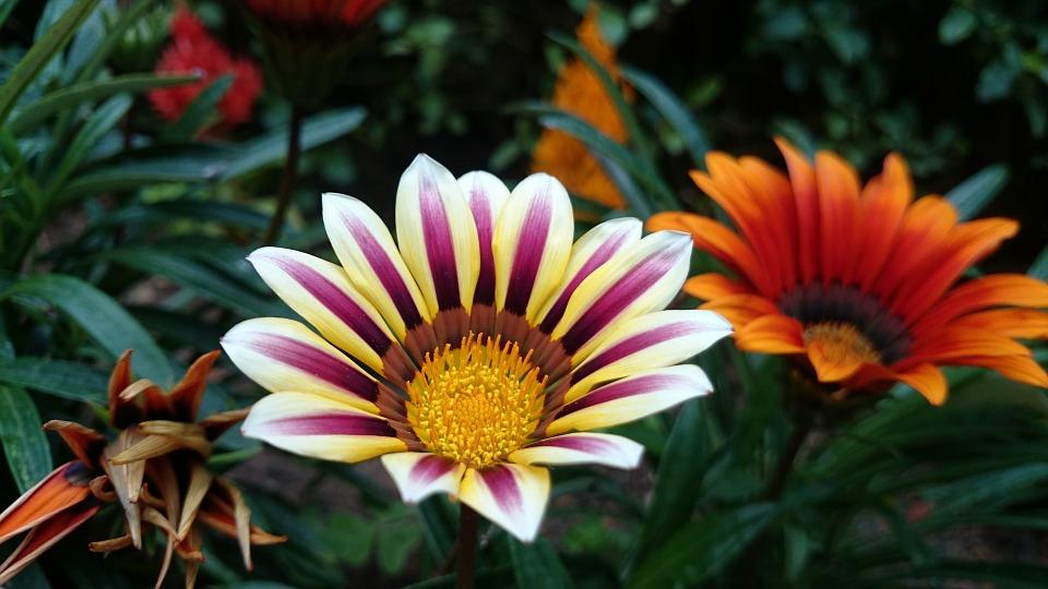 黄色と赤の花びらを持つガザニア