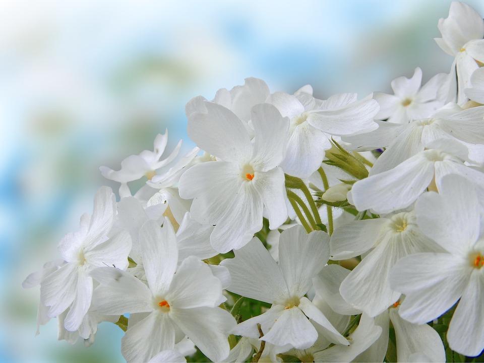 青空に向かって咲くフロックス