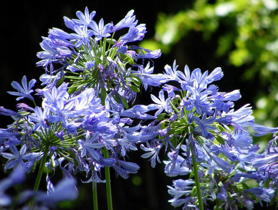 ユリ科のアガパンサスの花