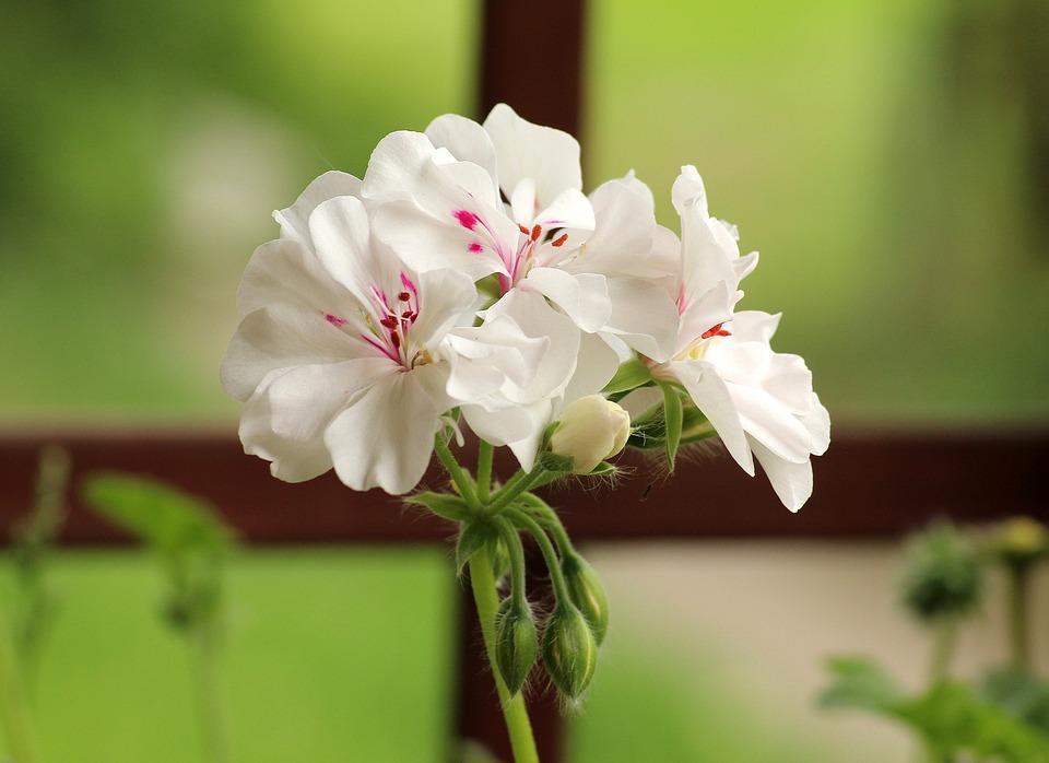 白い花びらにピンクの色が入ったゼラニウム