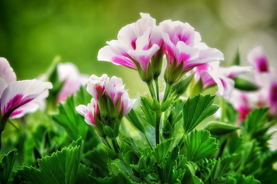 空に向かって咲くゼラニウムの花