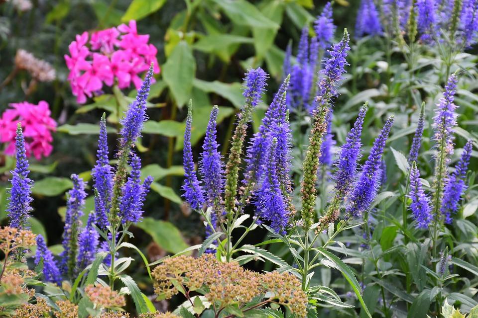庭に咲く紫のベロニカ