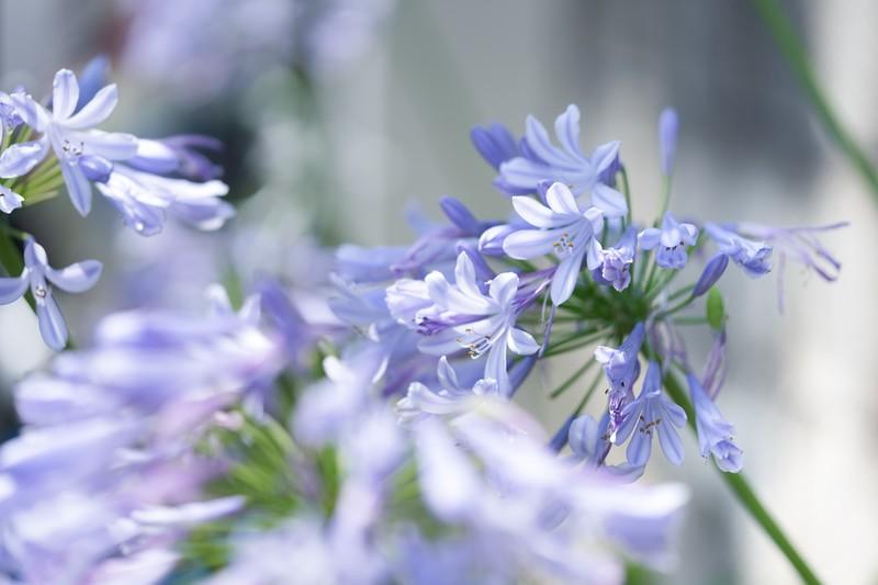 美しく輝くアガパンサスの花
