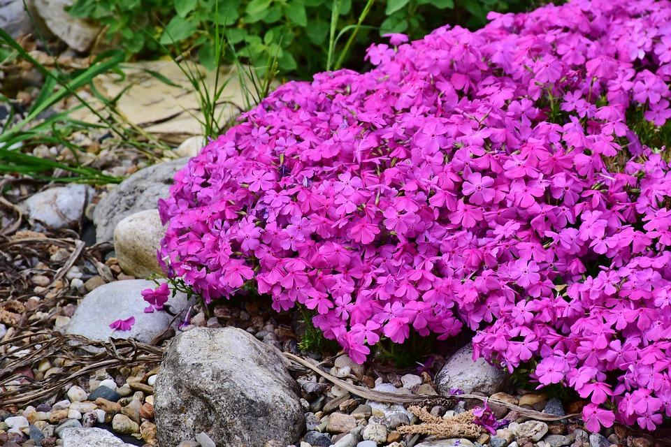 地表を覆うシバザクラの花