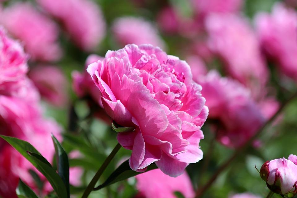 ピンクの可愛いシャクヤク