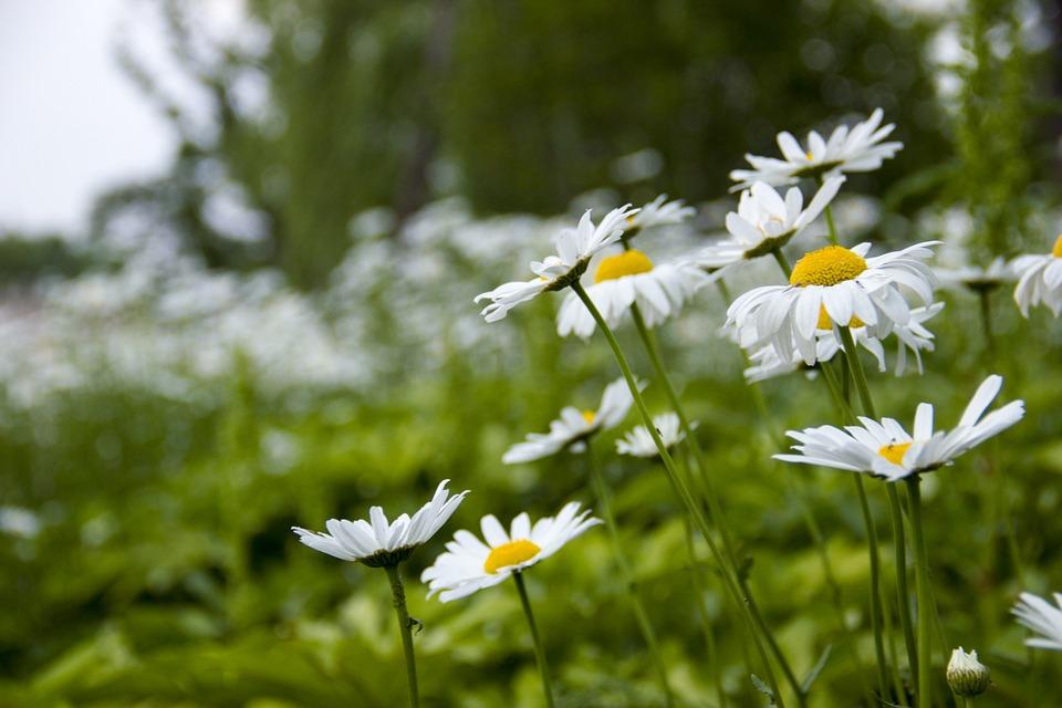 空に向かって咲くシャスターデージー