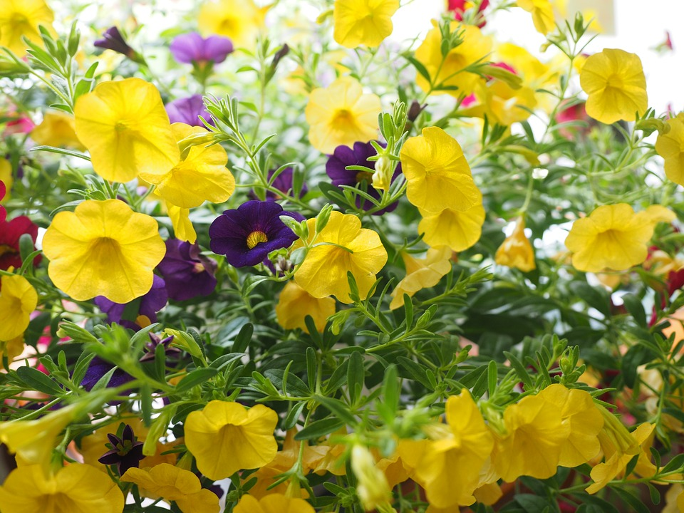 よく育ったカリブラコアの花