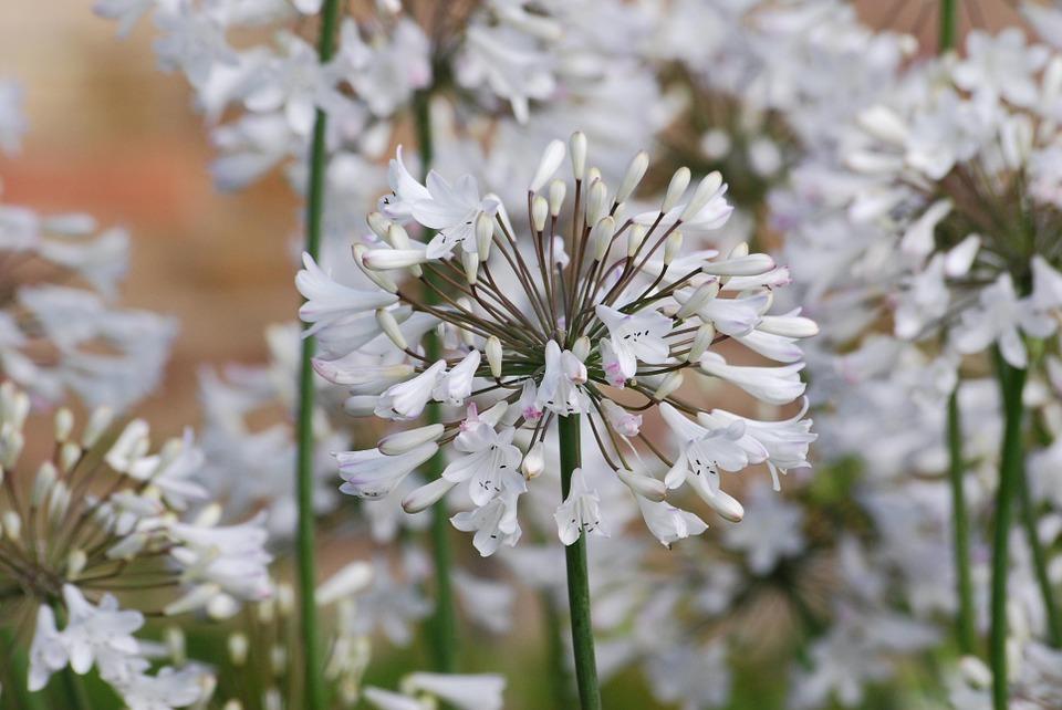 白い花にピンクの縁取りが可愛いアガパンサス