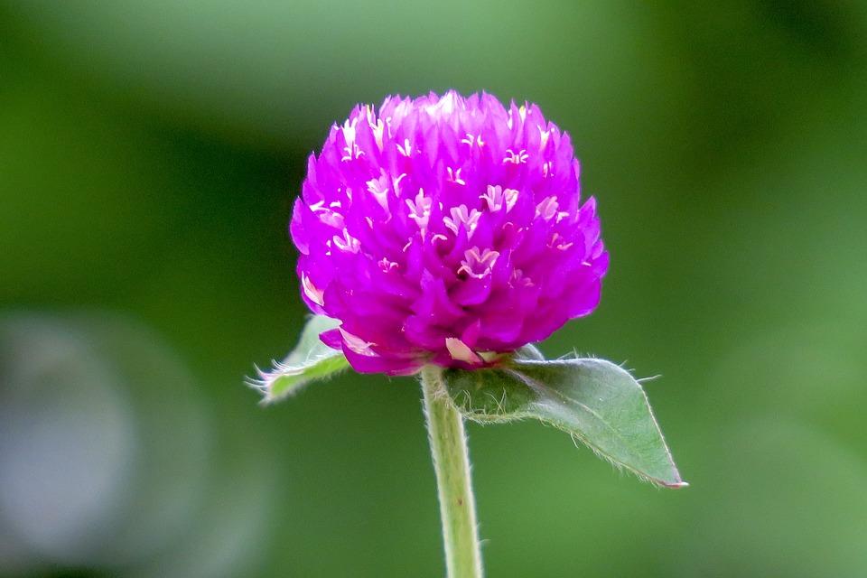 センニチコウの花のアップ
