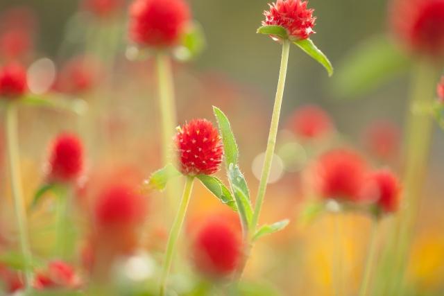 キバナセンニチコウの花