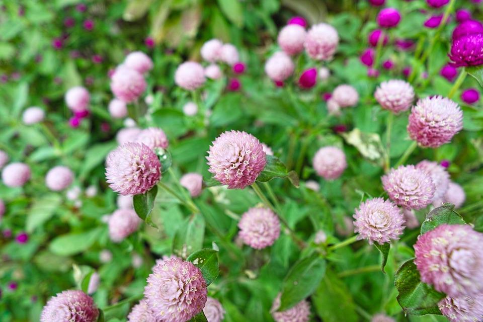 ちょうど満開のセンニチコウの花