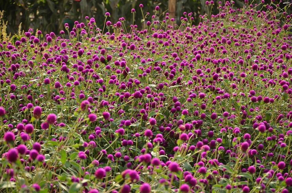 庭一面に咲くセンチニコウの花