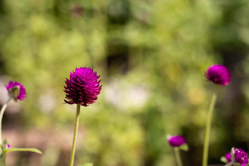 花茎の長いセンニチコウの花