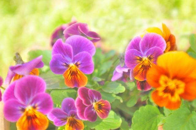 光り輝く庭に咲くビオラの花達