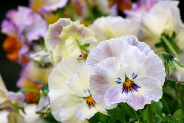 笑っているように見えるビオラの花