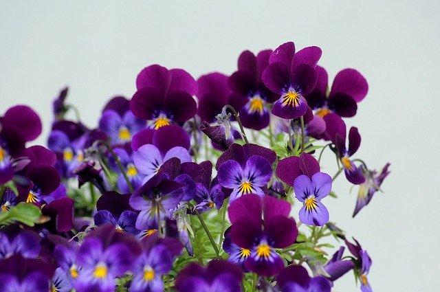 花付きがいい紫のビオラ