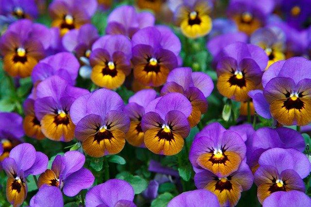 紫とオレンジの個性的な色のビオラ