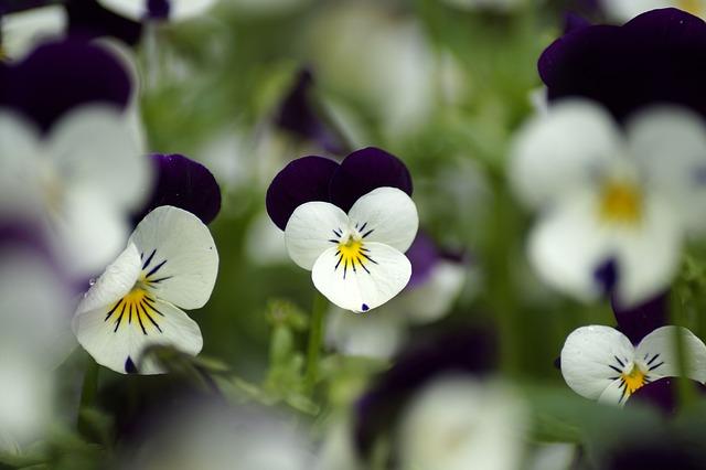 白と紫の上品なビオラ