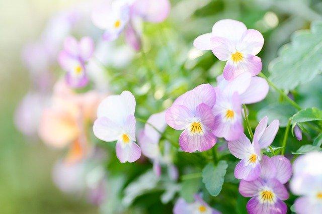 淡いピンクの可愛いビオラの花