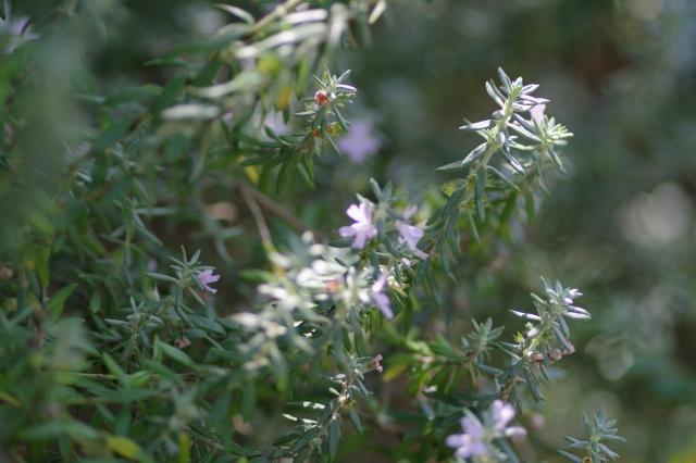 ウエストリンギアの花が咲く
