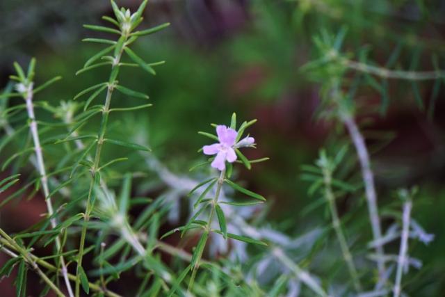 淡いピンクの花色のウエストリンギア