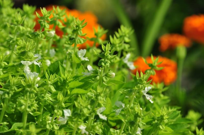 バジルの先端に咲く白い花